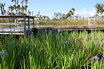 River Of Grass With Boardwalk And Irises March 2010