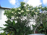 Naples Beach Hotel - Plumeria Tree